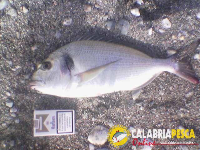 pesca in calabria: orata