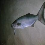 spinning pesce serra wtd