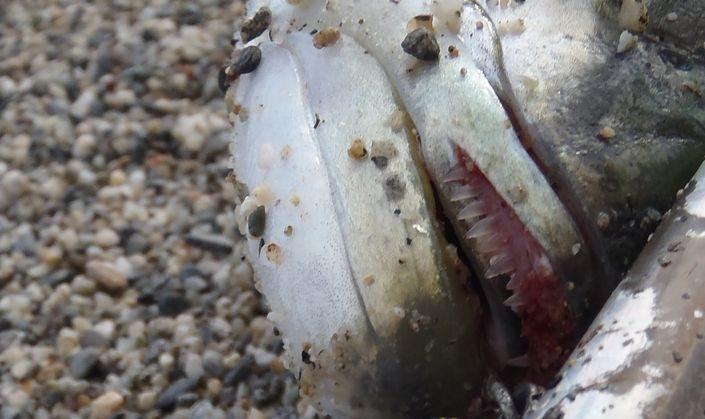 Pesca al pesce serra dentatura