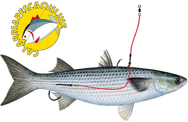 innesco-vivo-pesce-serra