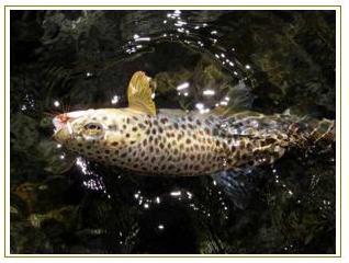 pesca a mosca trota fario pescare calabria pesca in calabria